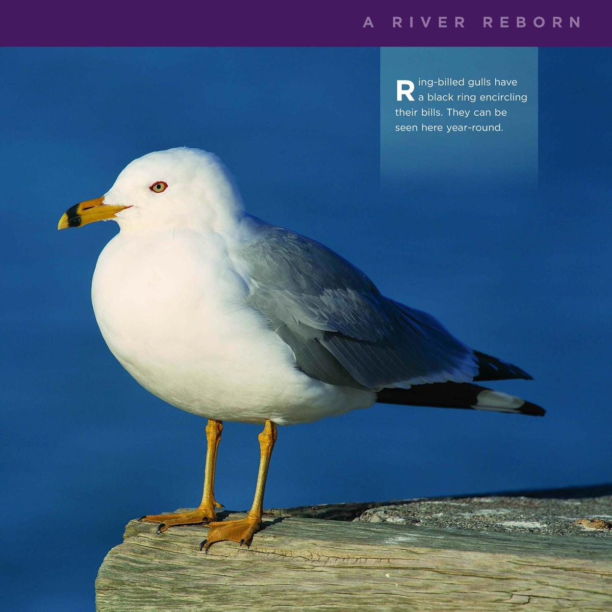 red-billed-gulls